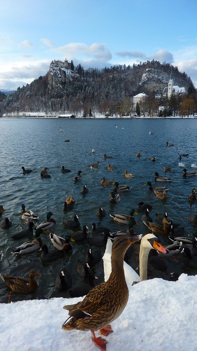 Bled, Slovenia, snow, ducks, swans, winter