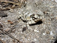 The Horned Toad is another creature that has amazing camouflage.