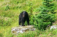 When I ran into my first bear on the PCT, I froze and didn't want to make sudden movements to spook the bear. By the time I got my camera, the bear got away, just leaving tracks in the snow. The other three bears I saw (two cubs and a mom) were also hard to photograph. But since everyone like bear photos, here's one from Olympic National Park, which Maiu shot during one of our training hikes. The llamas that were near us were freaking out.
