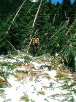 I emerge from the forest after bushwhacking through trees. I was trying to find the elusive, snow covered trail in Washington. We spent hours navigating. We never saw footprints on the virgin snow.