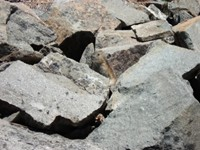 Pika peeking out of the rocks in Washington. Maiu sat patiently with her camera ready to shoot this excellent photo. She had zoom lens, so she had to get quite close and hope the curious little fella would stick his head out. We heard pikas often, a high pitched squeal, like a bird. Pikas are much more curious than marmots, but share the same habitat as a marmot - rocky places at high elevations.