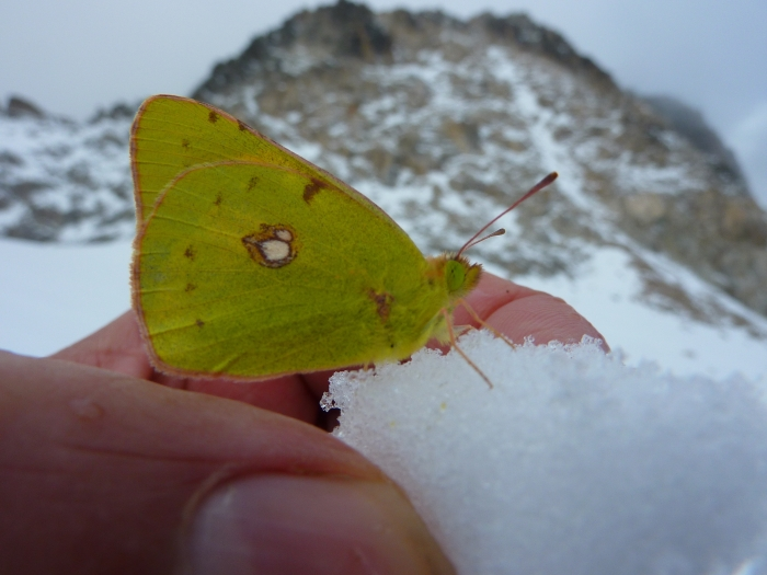It was bizarre and surreal finding a butterfly on the Aneto glacier. It was even more weird that I picked up the snow it was sitting on and it didn't fly away. It stayed in my hand as the snow melted away. It rested on my bare skin for a few minutes while I continued to descend, then eventually it flew away.