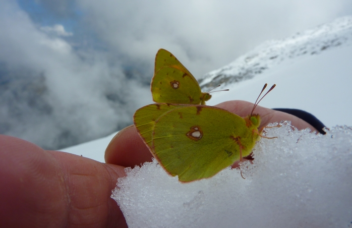 Butterfly in snow